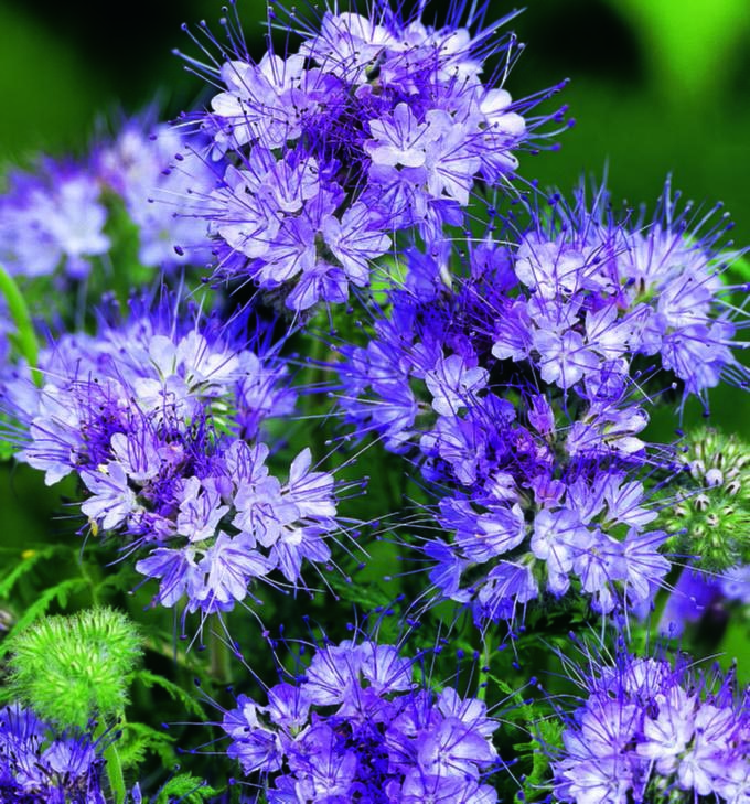 Fiddlehead Flower Bee's Friends