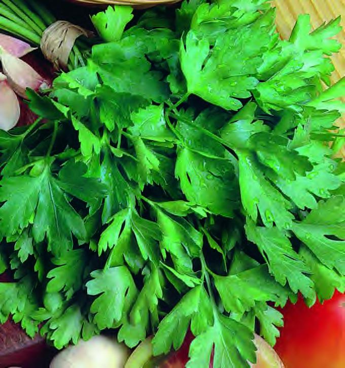 Parsley Plain Leaf