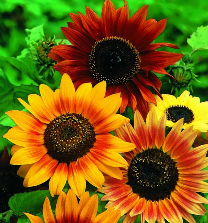 Sunflower Hart's Special Mix