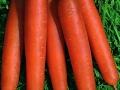 Carrot Scarlet Nantes