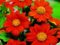 Tithonia Torch Red