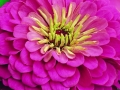 Zinnia Calfornia Giant Pink