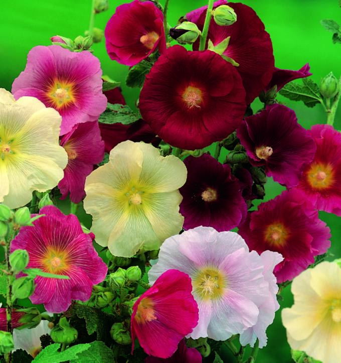 Hollyhock Indian Spring