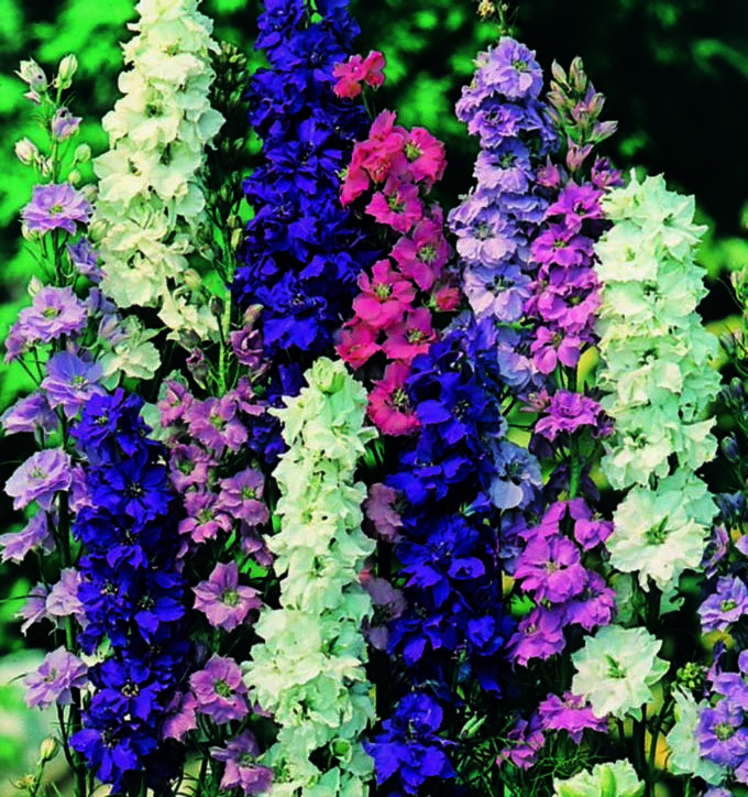 Larkspur Mixed