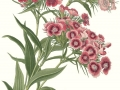 Sweet William Single Mix