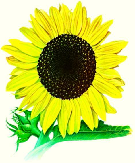 Sunflower Mammoth Russian Grey Stripe