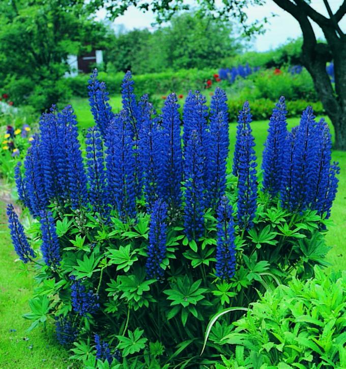 Lupine Perennial