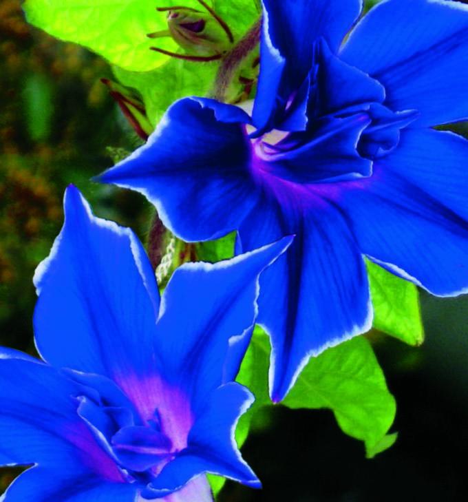 Morning Glory Picotee Blue