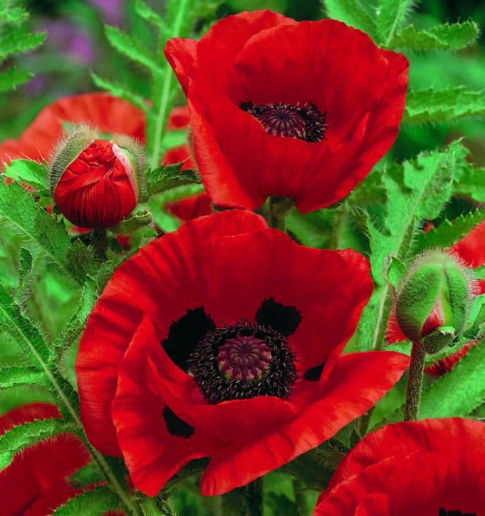 Poppy Oriental Scarlet