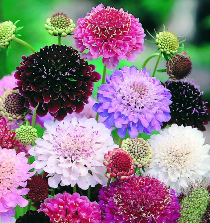 Scabiosa Imperial Mix