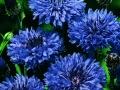 Bachelor Button Blue