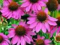 Coneflower Purple