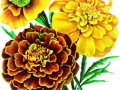 French Marigold Petite Mixed