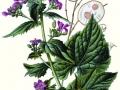 Lunaria Honesty