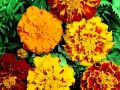 Marigold Brocade