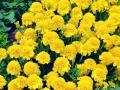 Marigold Petite Yellow