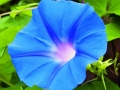 Morning Glory Heavenly Blue