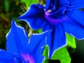 Morning Glory Picotee Blue