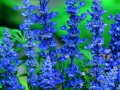 Salvia Blue Bedder