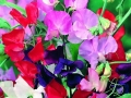 Sweet Peas Royal Mix