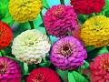 Zinnia Button Box