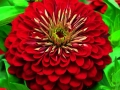 Zinnia Calfornia Giant Red