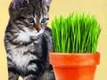 Cat Grass (Wheat)