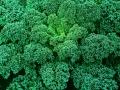 Kale Dwarf Blue Curled