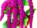 Amaranthus Love-Lies Bleeding