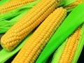 Corn Golden Cross