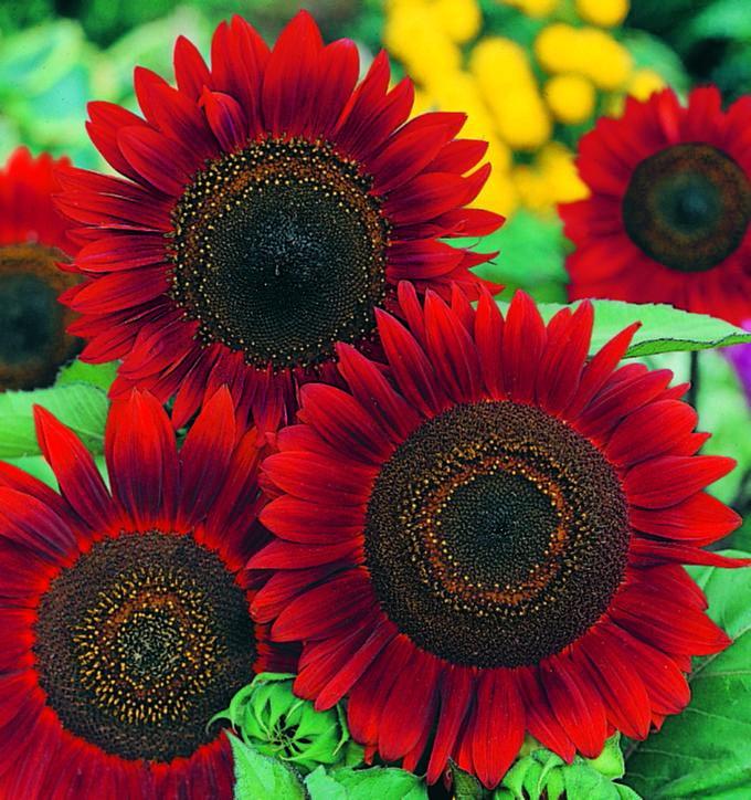 Sunflowers - Charles Hart Seed Company