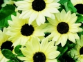 Sunflower Italian White