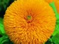 Sunflower Sun Gold
