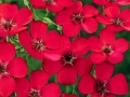 Flax Scarlet