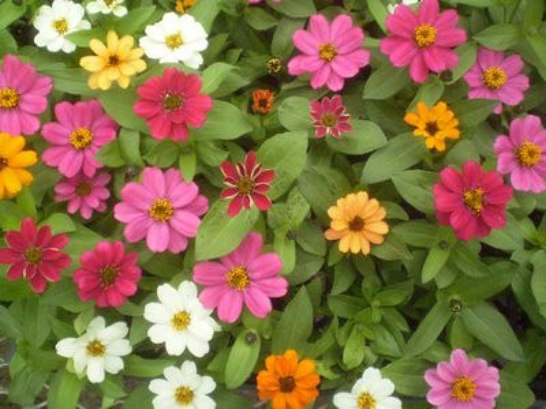 THE most popular zinnia in the world     with good reason    Zinnia Varieties