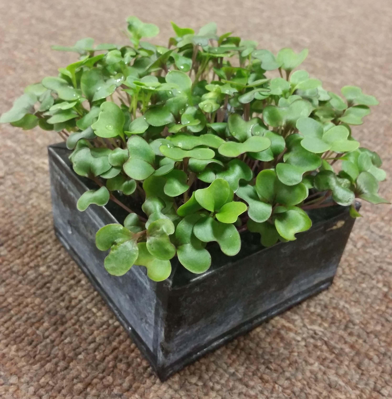 cabbage microgreens