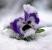 pansies in snow