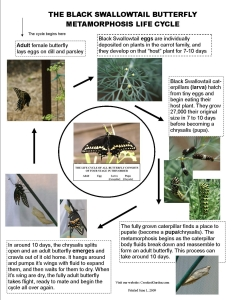 Black Swallowtail life cycle