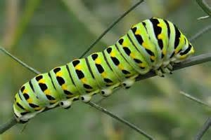 black swollowtail caterpiller mature